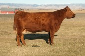 C17 - All these bulls trace to the legendary female.
